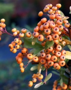 Pyracantha 'Firelight' with orange berries