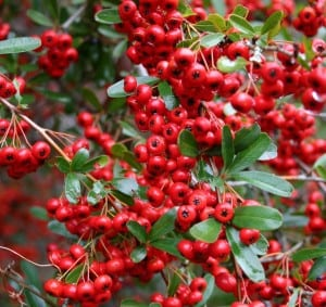 Pyracantha 'Red Column' also known as Firethorn with red berries