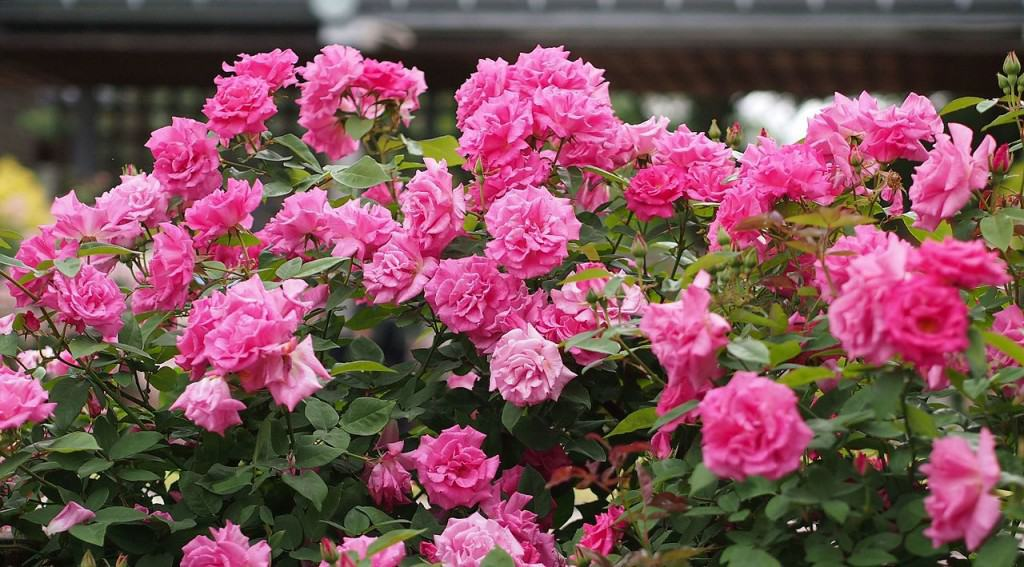Climbing Roses For Shade Roses That Grow On North Facing Walls