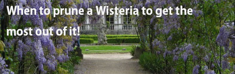 when to prune a wisteria