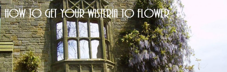 Wisteria not flowering, how to get this stunning plant to bloom
