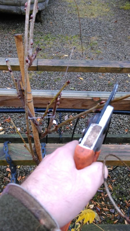 how to prune wisteria