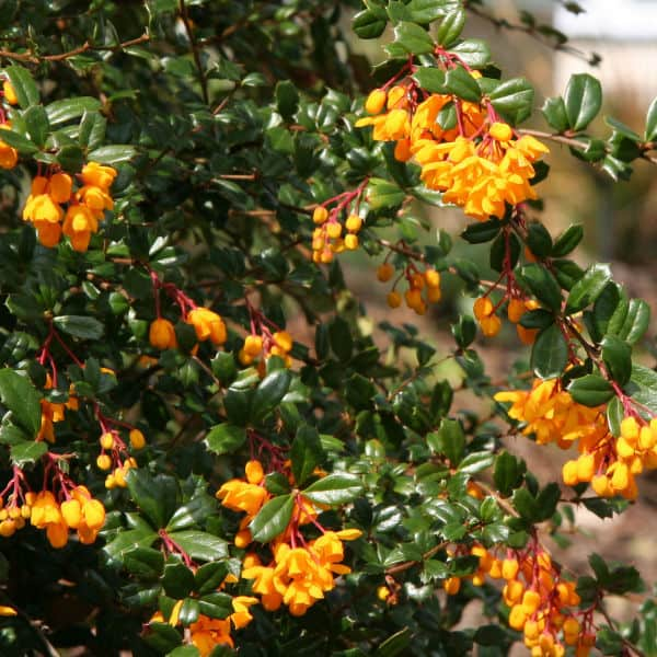 Berberis darwinii can be light pruned after flowering in spring to remove dead flowers