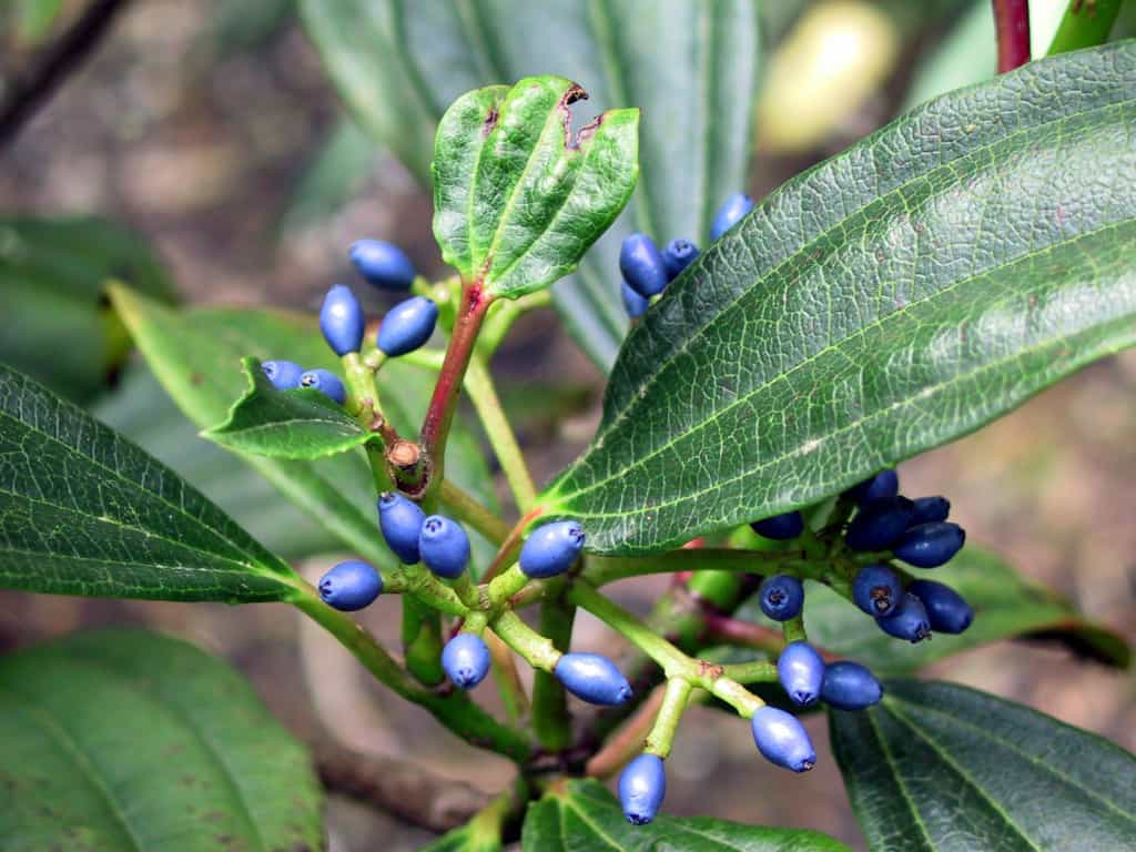 Viburnum davidii ideal for growing in dry shady areas of the garden