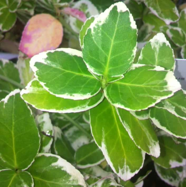euonymus emerald gaiety small evergreen shrub
