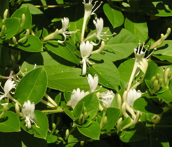 Lonicera Japonica do not require pruning. cut to shape in spring if needed