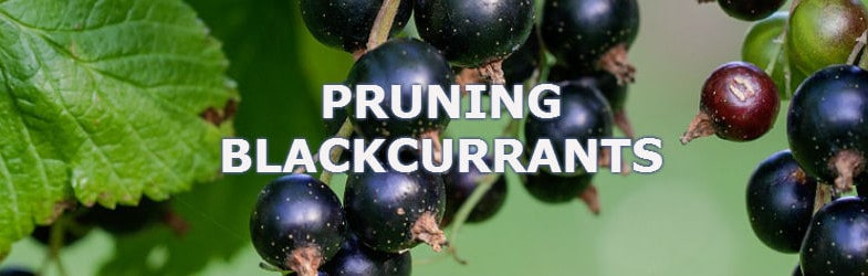 Pruning Blackcurrants – How and when to prune to get the most fruit
