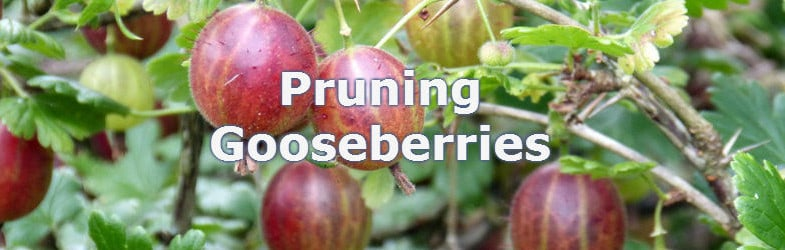 pruning gooseberries ensured more fruit year on year