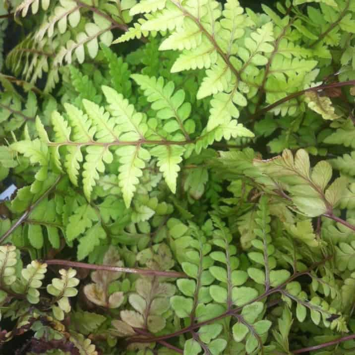 athyrium okanum ideal for dry shady areas.
