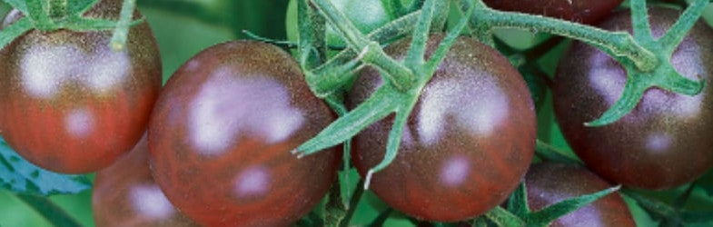Looking for an unusual tomato, 'Black Cherry' could be it