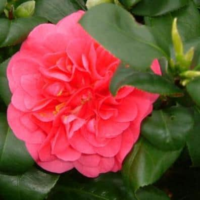 Camellias should be pruned as soon as flowering has finished.