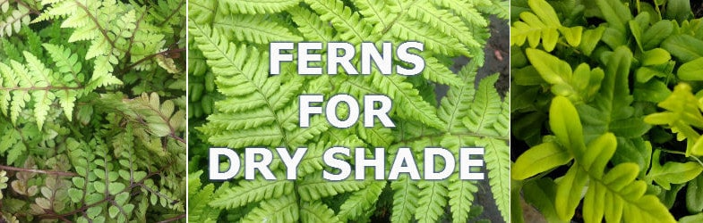 Best ferns to grow in dry, shady areas of the garden