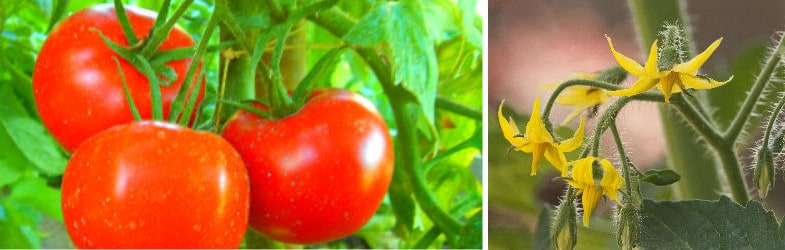 How to grow delicious tomatoes in pots this summer
