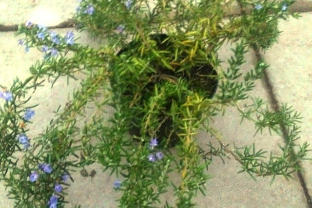 Trailing Rosemary which needs pruning after flowering as with all Rosemary.