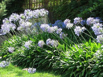 Agapanthus care tips and growing guide