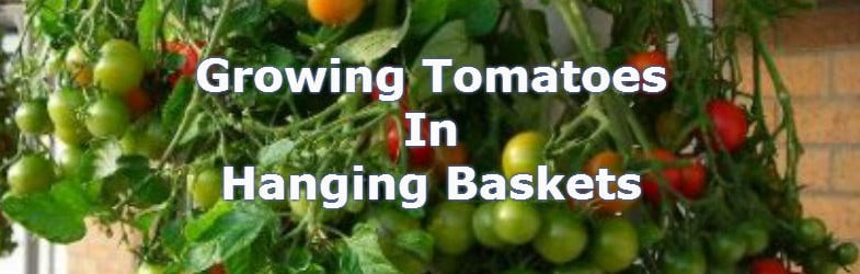 Growing tomatoes in hanging baskets