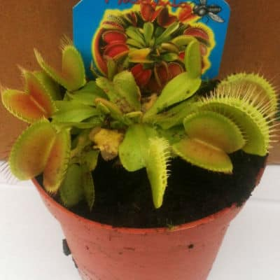 growing venus fly trap