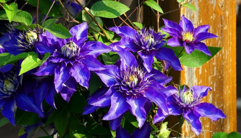 How and when to prune clematis - the complete guides