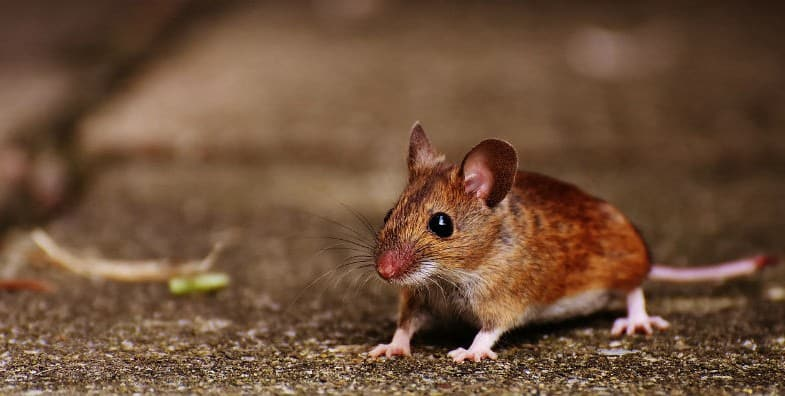 Tips from the experts on how to keep your place free of mice