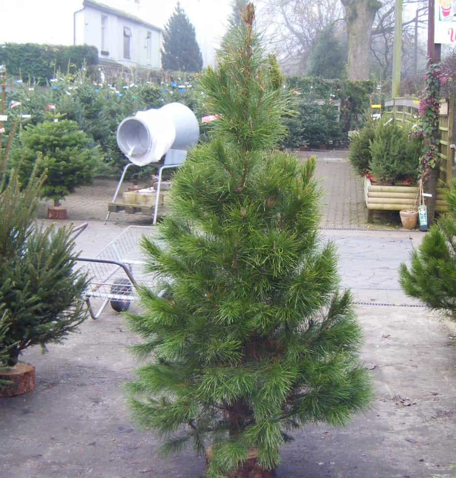 How long do real christmas trees last - indoors they will last 4-6 weeks if cared for correctly.