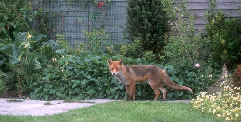 Best fox deterrent for repelling foxes and the top 8 picks that actually work