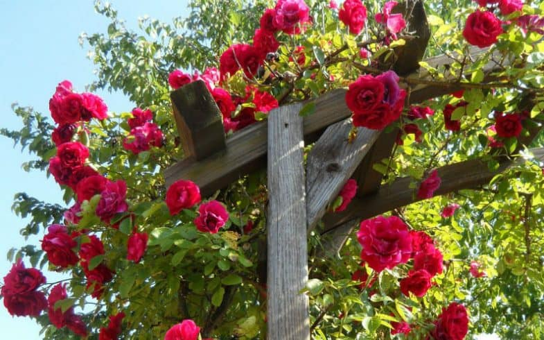 Pruning Climbing Roses The Beginner Guide