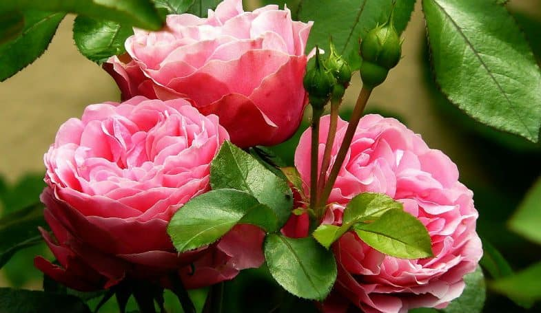 Pruning roses – everything you need to know