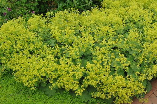 Lady's Mantle is a clumping perennial which creates long, circular leaves with scalloped edges and shallow lobes. There are star-shaped flowers that grow in loose clusters on top of each stem come spring time.
