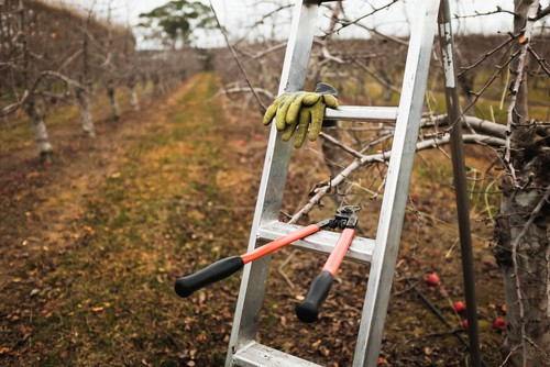 we recommend using tripod ladders as they allow you to get close to the tree and are also great for fruit picking.