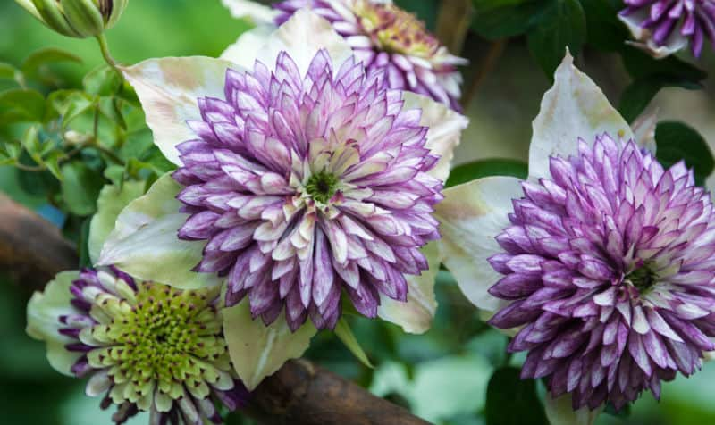 Not all clematis grow well in pots so in this article we have put together a list of our favourite and best clematis for pots. Read on to learn which varieties we choose and why.