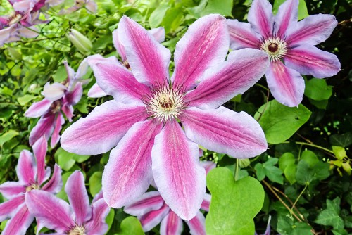 The first on this list is the Carnaby clematis which is one of our favourites. This is a compact bloomer that fares quite well in containers or tubs and will provide you with two rounds of flowers, the first of which comes at the early spring after which a light trim is recommended. The second flush later in the year indicates the upcoming Autumn season.