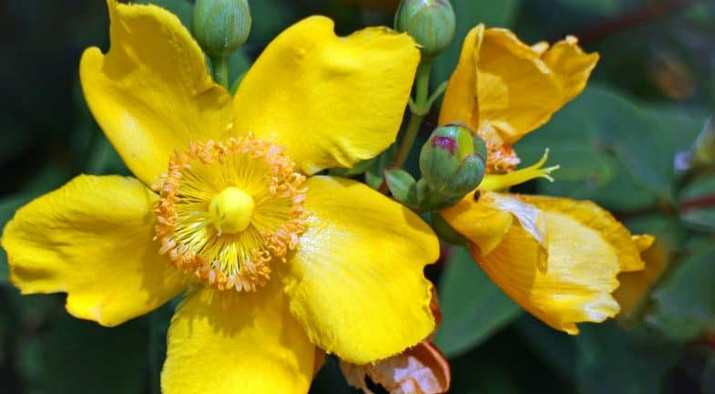 Growing Hypericum Hidcote – the complete guide