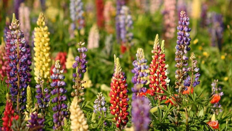 Growing Lupins – planting, taking basil cutting and care guide