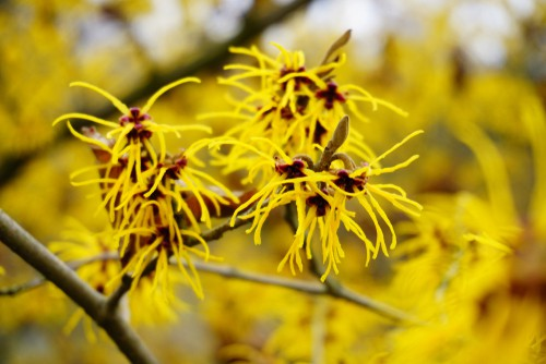 Witch hazel is a deciduous shrub that provides fragrant, bright flowers throughout the winter and is one of the most maintenance-free flowering shrubs you will ever find. Part of what makes it so maintenance-free is the fact that it's resistant to almost all pests and diseases. Witch Hazel will grow most prolifically in full sun or in partial shade depending on how hot it gets where you live.  The flowers when in bloom look like fiery embers against the bright winter sun. This plant is tolerant of alkaline or acidic conditions which allows it to grow just about anywhere.