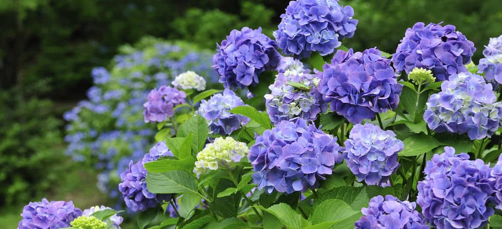 How to change the colour of hydrangeas - Changing the bloom colours from pink to blue or blue to pink is based on the soil pH. The pH level of the soil will only change the colour of the mop head or lacecap hydrangeas.