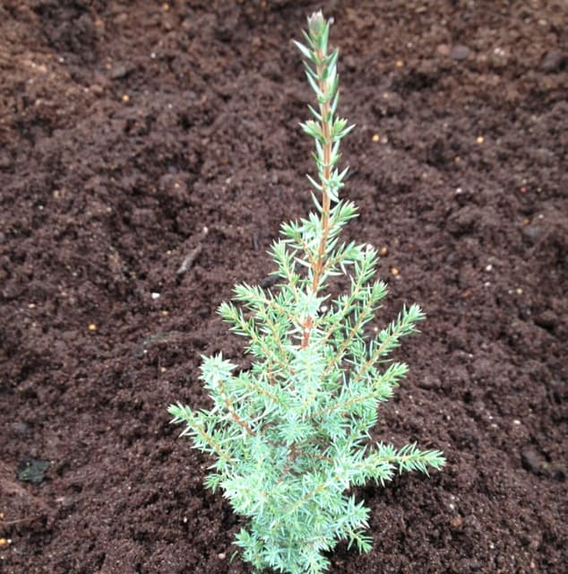 Otherwise known as the common juniper, this upright dwarf Conifer takes on a very strict cone shape and forms a wonderful specimen plant for any garden. It is rather prickly to the touch but the needles start off as tightly packed bluish-green needles that turn to a copper bronze colour once wintertime approaches.