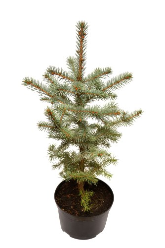 You can really spruce up your garden with this pyramidal form. This particular dwarf Conifer offers rigid, tiered branches each of which are covered densely with blue and gray colored needles. It is perfect as a tall screen or a windbreak in your garden and will do well as a specimen plant in a container. It is very deer resistant which is ideal for situations where other plants might not survive against the local wildlife. It is perfect in rock gardens, urban gardens, even woodland gardens and is prized for the beautiful foliage that juxtaposes otherwise richly green foliage.