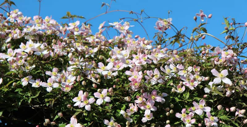 The clematis Montana is a flowering climbing plant that will produce beautiful blooms as long as you keep the soil moist. It typically takes about two years for these to become established after which time you will enjoy an abundance of flowers in spring. These particular plants can grow significantly high and they will thrive in partial shade.