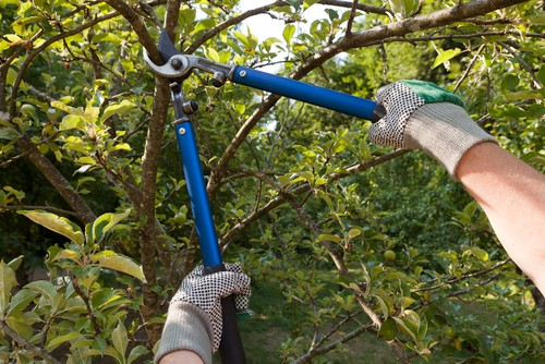Knowing what time of year to prune apple trees and how to prune apple trees can seem difficult, as there are a few variations based on the age of your tree.