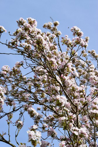 This flowering cherry tree is a narrow columnar tree that is best grown in areas with very limited garden space. If you have a small garden the upright branches will help you make the most of the available space especially the nearer to the sky.