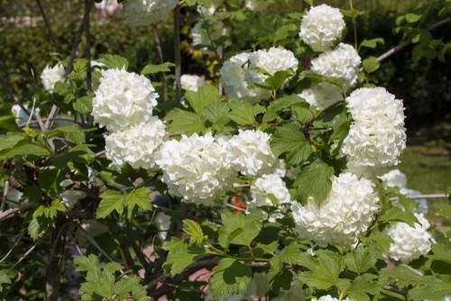Prune other types of hydrangeas such as oak leaf and snowball types varieties are pruned winter or early spring.
