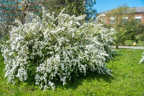 Taking on a more unique shape, the bridal wreath spirea is a medium-sized deciduous shrub which has tiny flowers on it. when you look at a single branch you will see that the flowers themselves grow off thin and long stems that all shoot from the branch itself which is what allows for that fanned out the appearance of a bridal wreath.