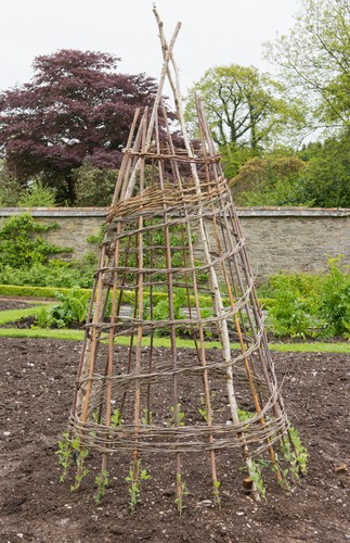 The vines will grow rapidly and they need something against which to climb. To that end, you can place support posts or sturdy frames where you have your sweet peas and they will scramble up them as tall as 6ft.