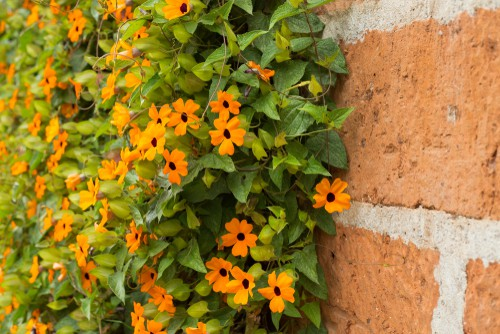 The Black-Eyed Susan is very frequently seen in hanging baskets at your local garden centre. This vine is not only charming but very easy to care for and perfect for containers or tubs.