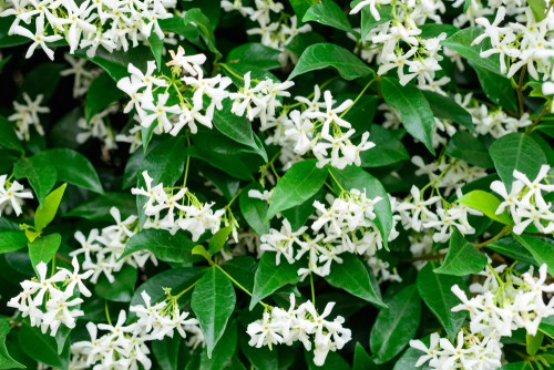 The star jasmine is a vigorous and medium-sized Evergreen vine that brings to your garden dark green leaves up to 8cm in length along wiry stems. At the end of spring, you will see an abundance of sweetly fragrant flowers that are white in shade and star in shape, reaching 2.5 centimetres on average. As the flowers age, they take on a creamy hue.