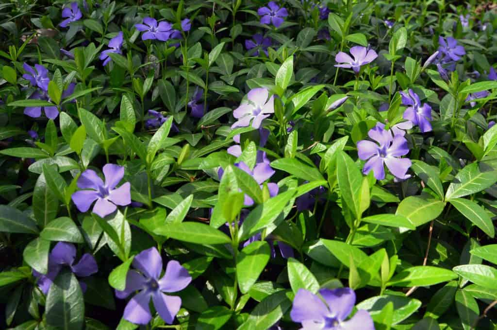 This variety of flowering plant is a beautiful option to include for a large array of ground cover.