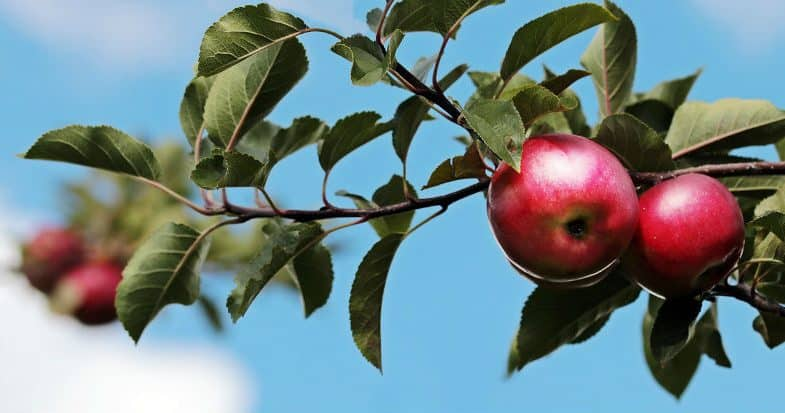 When to prune apple trees – Tips for easy pruning