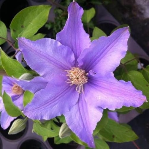 The next on the list is the Angelique. This is the perfect clematis for tubs or containers with blooms that take on a pale lilac shade offset by a crown of beautiful stamens.