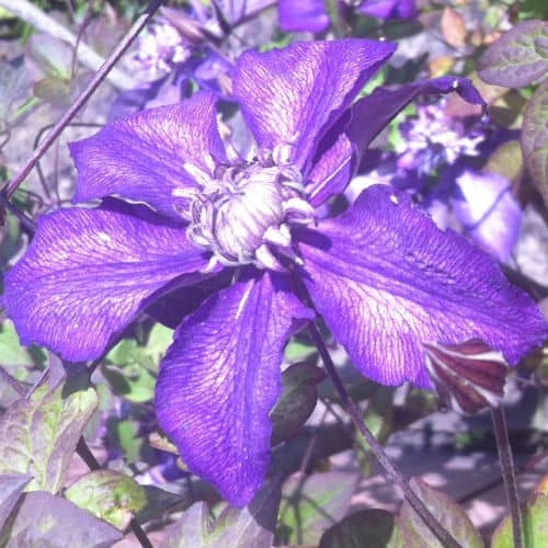 This is an eye-catching hybrid that can withstand tumultuous weather will grow very effectively in pots and only requires minimal maintenance once it is in place. At the end of summer, rest assured that this variety will give you an eye-catching display. This is a Raymond Evision Clematis and belongs to pruning group 3 so a hard pruning is recommended.