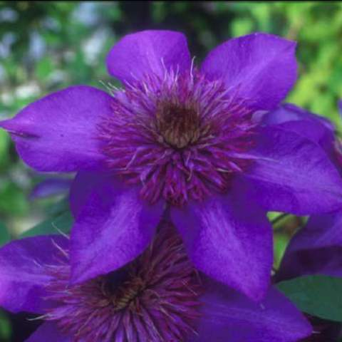 This very popular multi blue clematis gets its name from the multiple layers of stunning blue shades it has in the double flowers which are so large that they span between 10 and 15cm. As the flowers mature the silvery blue centre expands and creates a multi-layered flower that comes into waves one of which takes place at the end of spring and the other the end of summer.